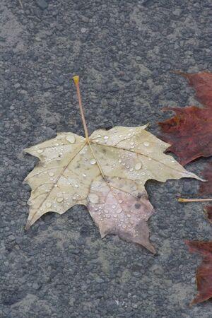 Maple leaf. Stok Fotoğraf