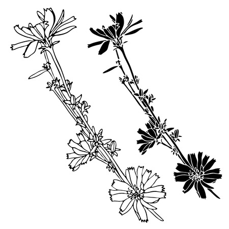 Beautiful botanical vector with chicory flowers.Elements isolated on white background. In black and white style. Can be used for printing on paper, stickers, badges, bijouterie, tattoo. Zdjęcie Seryjne - 109884998