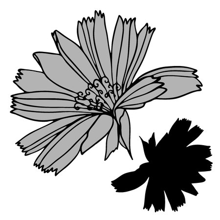Beautiful botanical vector with chicory flowers.Elements isolated on white background. In black and white style. Can be used for printing on paper, stickers, badges, bijouterie, tattoo.