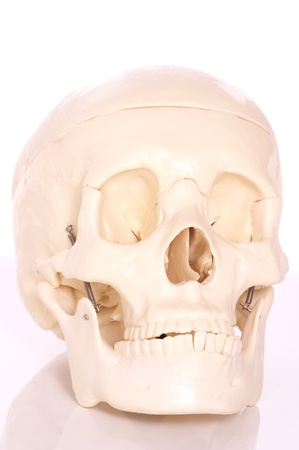 lacrimal: Medical learning skull laying on a white background