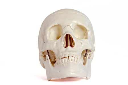 ethmoid: Medical learning skull laying on a white background