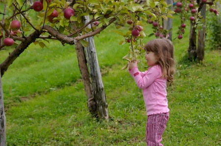 Little girl dressed in pink and picking apples in an appletree Фото со стока