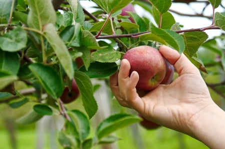 Right hand picking a delicious apple from an appletree Stock Photo - 18484733