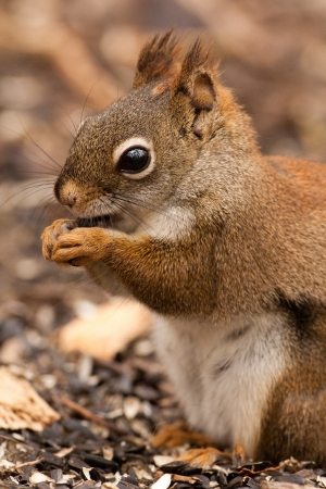 American red squirrel eating seed Stock Photo