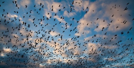 migrate: Migration of snow geese in Canada