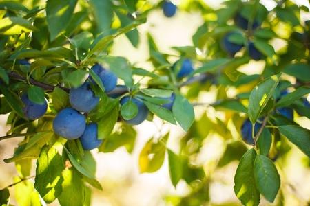 Prune tree ready for harvesting