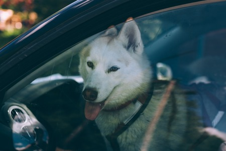 White dog sitting in a car behind the glass