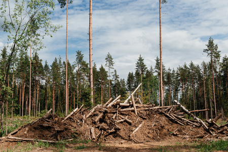 stumped: Landscape with fallen trees in forest. Daytime photo.