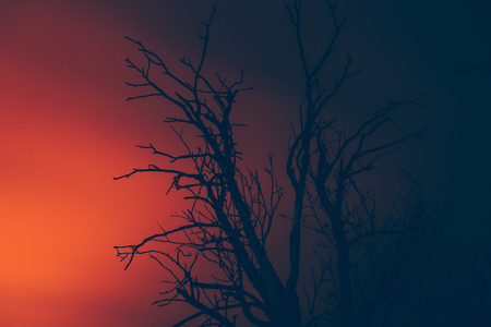 wildfire: silhouette dry dead tree on a background of wildfire