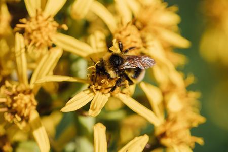 echinacea: Bumblebee on a yellow flower.