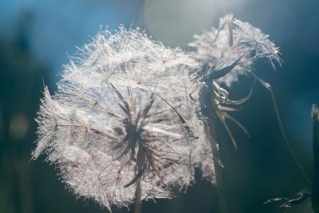 Dandelion seeds in the morning sunlight. Stock Photo