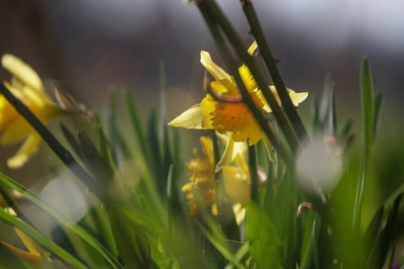 yellow daffodils in early spring
