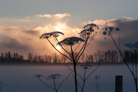 dry hogweed in winter on a sunset background