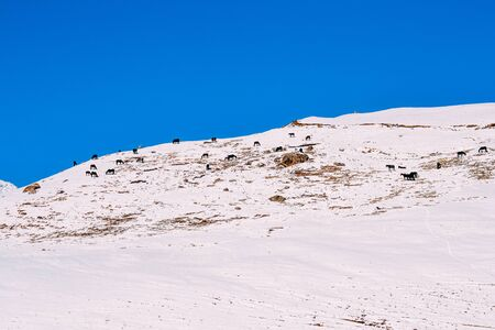 herd of horses on a snowy mountain in the daytime