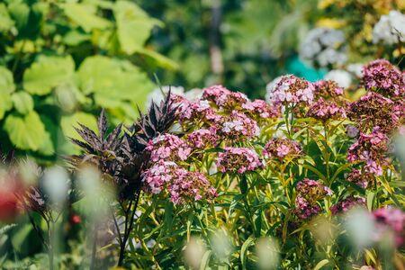 purple little flowers in the summer in the courtyard Foto de archivo