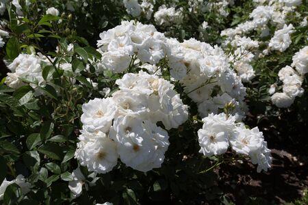 many buds of white floribunda in the daytime Imagens