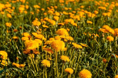 field of blooming dandelions in the summer in the daytime Фото со стока