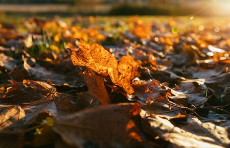 dry autumn leaves on the ground in sunny weather.