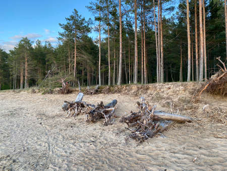 Pine forest on the shore of the Gulf of Finland at sunset Stock fotó