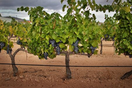 Whole strain of vineyard plant with ripe grapes of monastrell variety, ready for harvest with stony soil, good drainage, limestone and clay