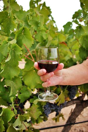 Woman's hand holding a glass of wine among the vineyards. wine growing and production