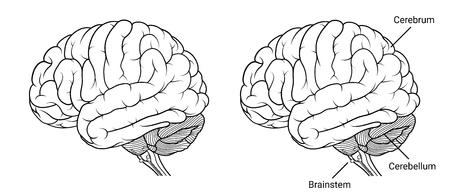 Illustration vectorielle, anatomie du cerveau humain aperçu de la vue latérale sur fond blanc