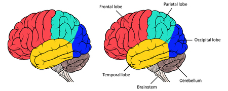 Vector Illustration ,Flat Sections of human brain anatomy Side view on white background Ilustrace