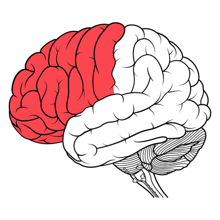Vector Illustration ,Flat Frontal lobe of human brain anatomy side view flat of human brain anatomy Side view on white background 矢量图像