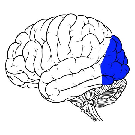 Vector Illustration ,Flat Occipital lobe of human brain anatomy Side view on white background Illustration
