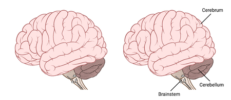 Vector Illustration ,Flat Human brain anatomy Side view on white background