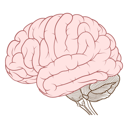 Illustration vectorielle, cerveau de couleur plate de l'anatomie du cerveau humain vue latérale sur fond blanc