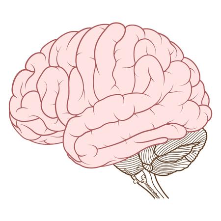Ilustración vectorial, cerebro de color plano de la vista lateral de la anatomía del cerebro humano sobre fondo blanco