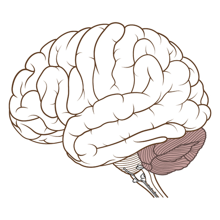 Illustration vectorielle, cervelet de couleur plate de l'anatomie du cerveau humain vue latérale sur fond blanc