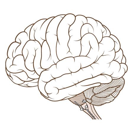 Vector Illustration ,Flat coloured Brainstem of Human brain anatomy side view on white background