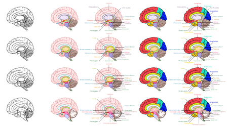 Vector Illustrator, Parts of human brain anatomy side view Illustration