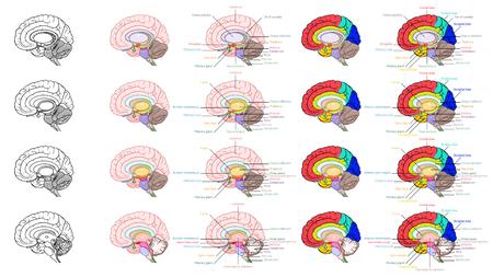 Vector Illustrator, partes de la vista lateral de la anatomía del cerebro humano