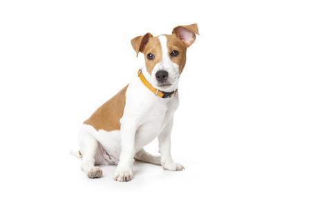 Der kleine Welpe des Rasse eines Jack Russell Terrier sitzt auf einem weißen Hintergrund