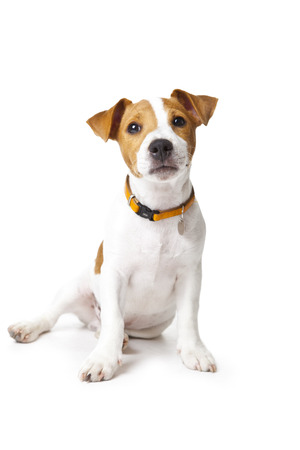 The small doggie of breed a Jack Russell Terrier sits on a white background