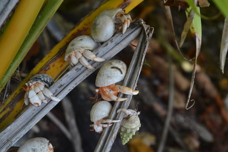 Hermit crabs crawling on a branch of a palm tree. Chagos Archipelago. Stock Photo