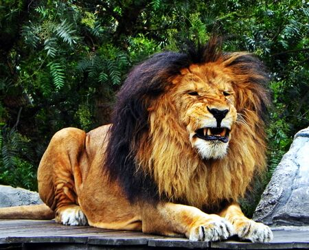 tiredness: A male lion pulling teeth Stock Photo