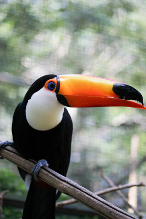Vetical take of toucan looking to the right with trees behind