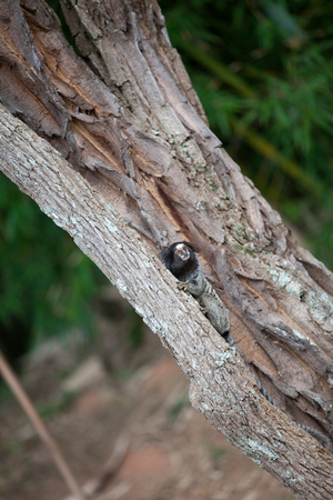 Marmoset looking up while climbing tree trunk