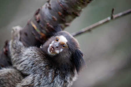 Marmoset looking left while holding on to tree Stock Photo