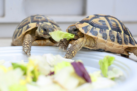 Two turtles in competition on a white dish