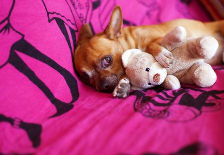 perros graciosos: amigos animales y sueños en una manta violeta Foto de archivo