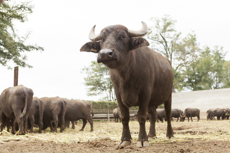 italian buffalo breeding which produces mozzarella