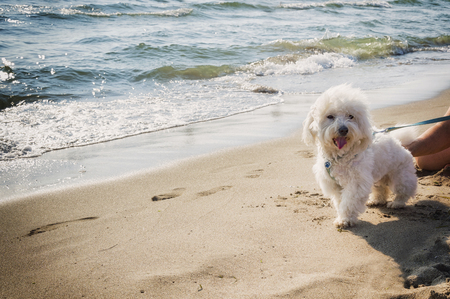 white poodle: a cute white poodle on the beach