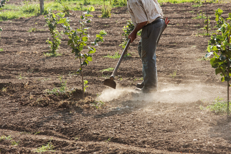 soil: the farmer who hoeing hazelnuts in a coultivate field