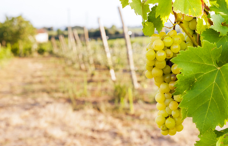 white grapes: bunch of white grapes on its branch