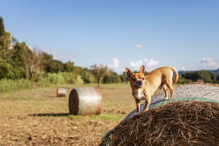 lively: lively beige Puppy on big hay bale